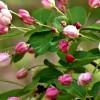 Яблоня сибирская, начало цветения