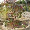 Клещевина украшает сад