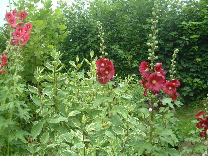 Шток роза в саду фото