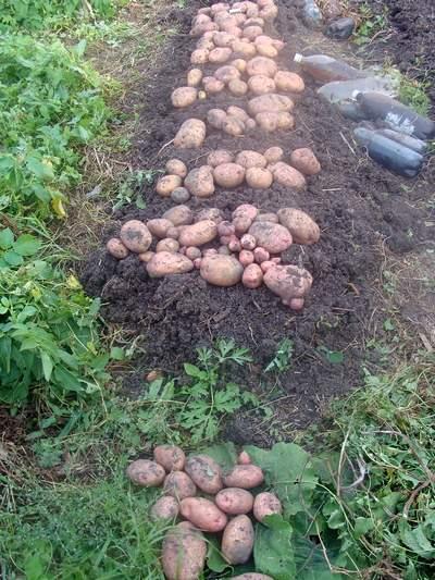 Урожай кустов картофеля сорта Жуковский ранний