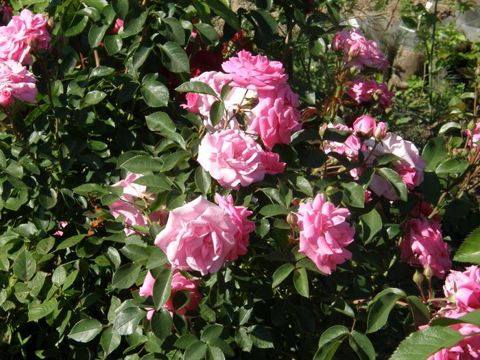 Песня темные розы