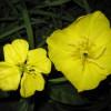 Цветы энотеры двулетней и многолетней