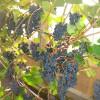 Зреет виноград сорта Зилга