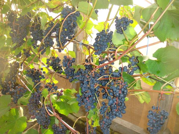 Отзывы по выращиванию винограда 10
