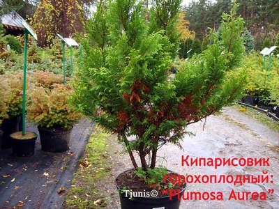 Кипарисовик горохоплодный, сорт Plumosa Aurea