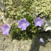 Колокольчик карпатский на альпийской горке