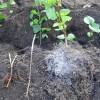 Корневые черенки и отпрыск сирени с хорошей мочкой корней