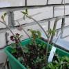 Зимние черенки винограда в балконном ящике на укоренении