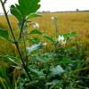 Паслен, растение