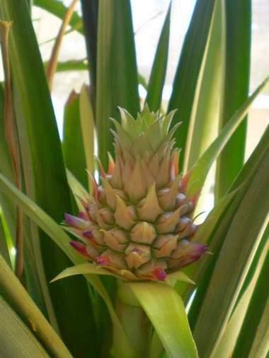 Ананас формирует плод