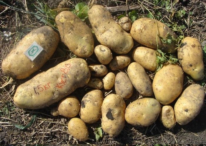 Урожай кустов картофеля сорта Барс