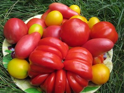 Такие разные томаты