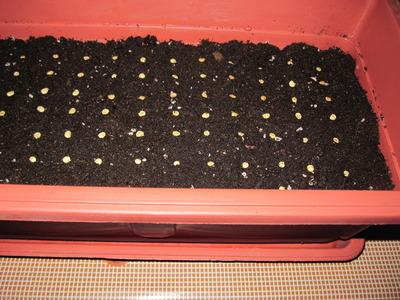 Семена раскладываю на поверхность и засыпаю слоем земли
