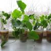 Семена этой рассады тыкв были высеяны в один день в разные грунты
