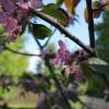 Яблоня- красавица, сорт Пионерочка