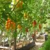 Помидоры черри дали хороший урожай вкусных плодов