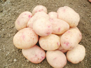 Всеволожская селекционная станция картофеля