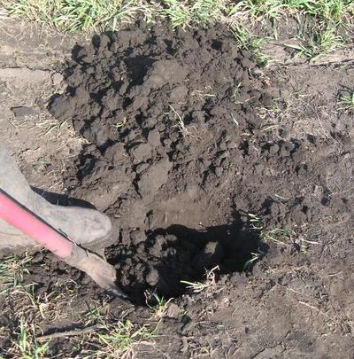 Готовим посадочную яму для саженца