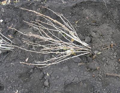 Саженец смородины черной помещают в посадочную ямку наклонно