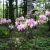 Рододендрон сихотинский (Rhododendron sichotense Pojark)