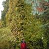 Вот такой виноград растет в Петербурге в Лесотехнической академии. Год посадки 1923.