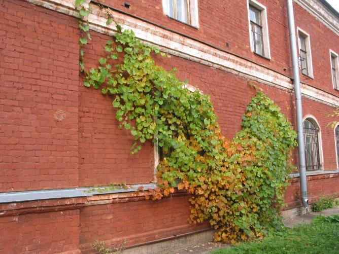 Как выбрать сорт винограда для выращивания (Раст