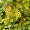 Виноград, сорт Восторг