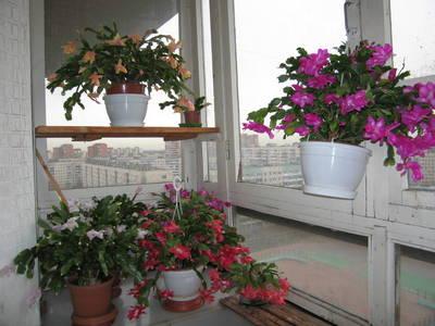 Рождественские кактусы на балконе