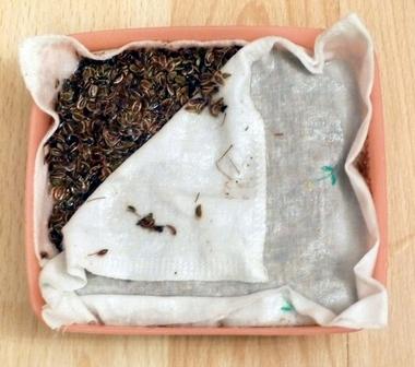 Ткань с семенами помещают на слой влажных опилок