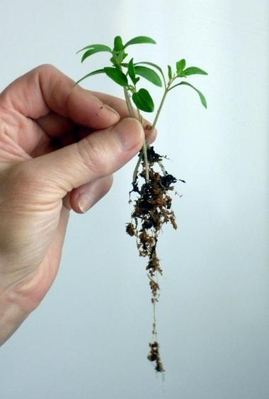 Сеянцы выращенные на опилках отличаются мощной корневой системой
