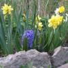 Нарциссы и гиацинт