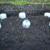 В начале мая всходы кабачков укрыты минипарничками, изготовленными из бутылей от минеральной воды.