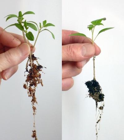 Сеянцы выращенные на опилках или гелевом субстрате отличаются мощной корневой системой