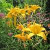 Лилейники, эхинпцея и ваточник в саду