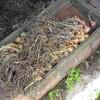 Сохнет урожай лука