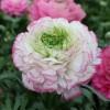 Ранункулюс серии Пикотее (Pink Picotee)