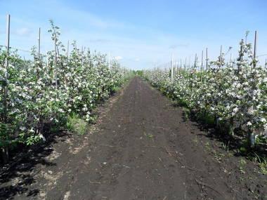 Цветение молодого интенсивного сада на клоновых подвоях яблони