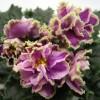 Сорт Каменный Цветок