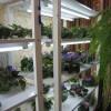 Коллекция узамбарских фиалок. Один из стеллажей
