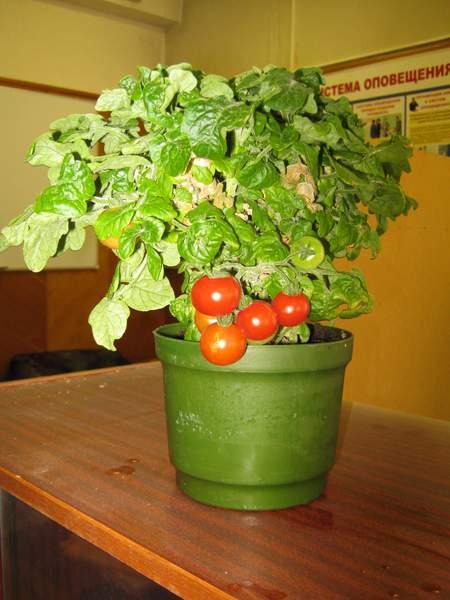 Второй урожай томата