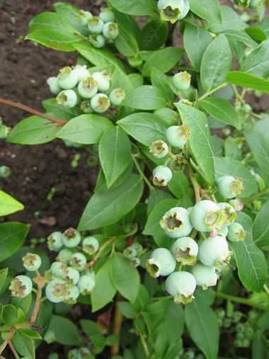 Голубика, зреют плоды