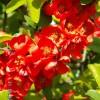 Цветение айвы