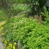 Спирея цветет. Весна, 20 мая 2012 г.