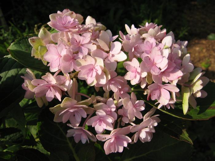 Цветы фиалки полив пересадка