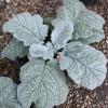 Сальвия серебристая (argentea)