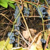 Плодоношение Винограда амурского