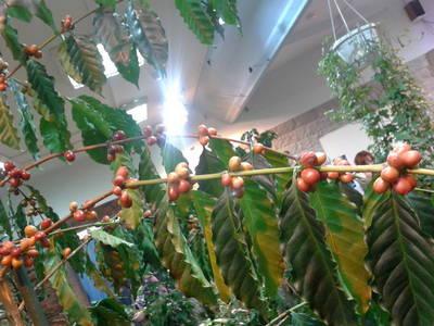Как вырастить кофейное деревце на подоконнике - FloraPrice.Ru