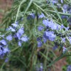 salvia azurea grandiflora