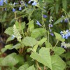 Salvia acaliifolia