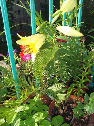 Лилии и земляника